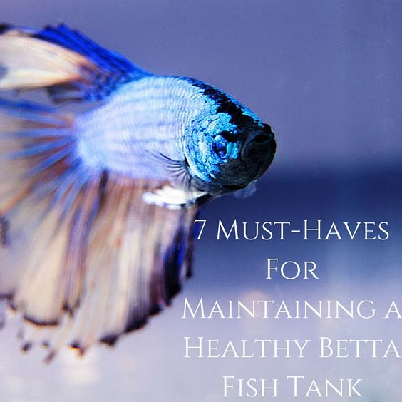 7 must haves for maintaining a healthy betta fish tank for Healthy betta fish