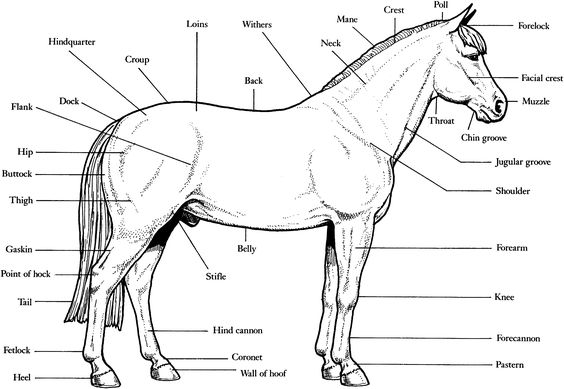 horse anatomy coloring pages - photo#6