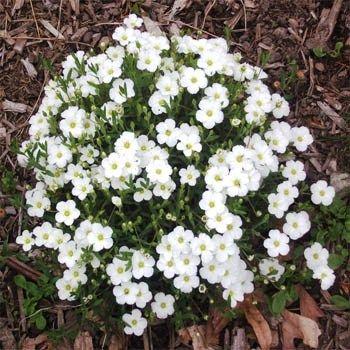 Arenaria arenaria montana establish this evergreen for Perennial ground cover plants for sun