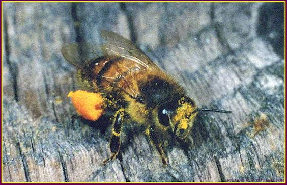 In the United States alone, it is estimated that honeybees accomplish 1/4 of the pollination needed for all fruit produced for human consumption