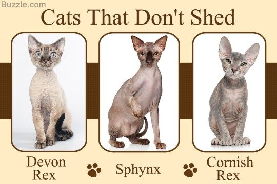 Cat Lovers Everything Cat Page Cat Breeds Small Cat Breeds Cats That Dont Shed