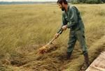 A mosser harvests sphagnum moss, breaking it at soil line to preserve root system