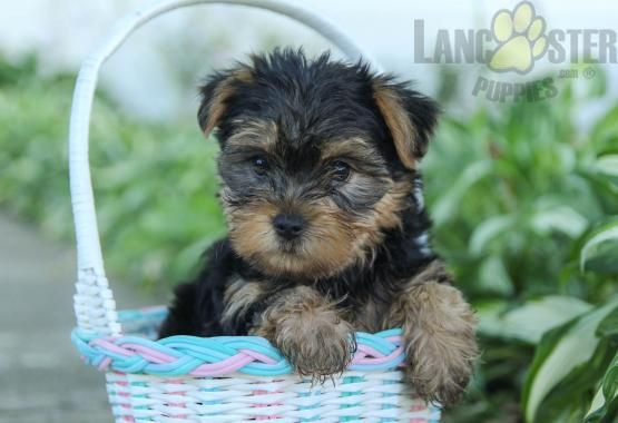 Pin On Yorkshire Terrier Puppies