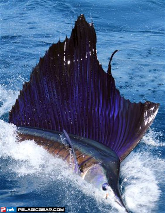 Belize boys and buckets on pinterest for Deep sea fishing belize