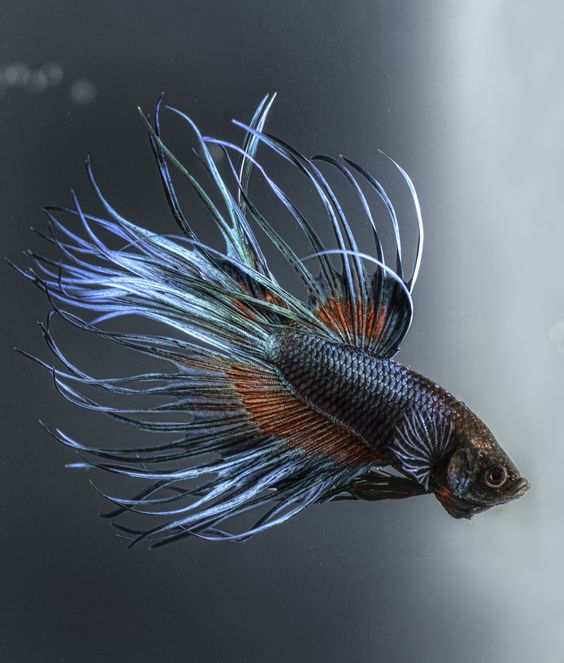 10 cool facts about betta fish fish and tanks for Freshwater fish facts