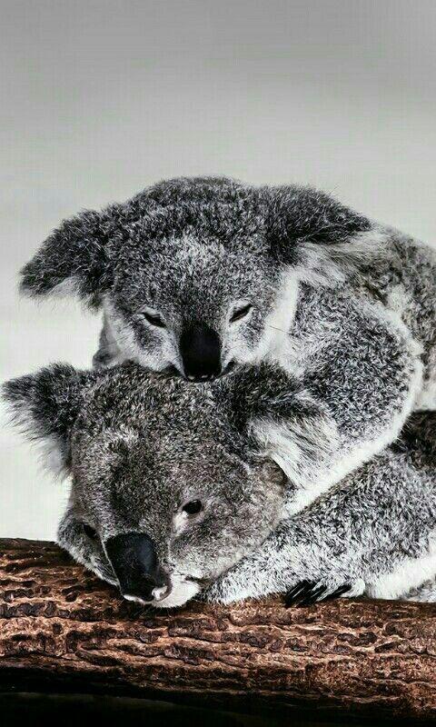 Fond D Ecran Koala Trop Cute Animaux Fond D Ecran