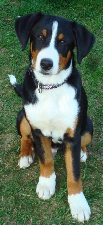 55 Ideas Dogs Breeds Medium Short Hair In 2020 Dog Breeds Medium Dog Breeds Entlebucher Mountain Dog
