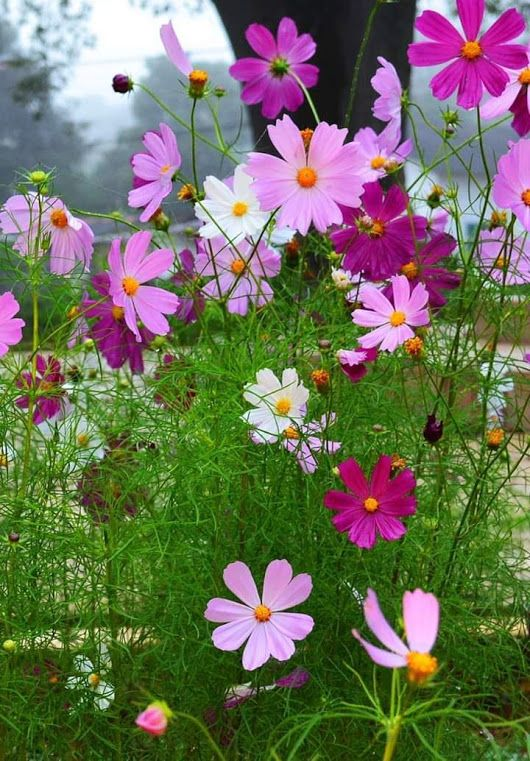 Daniel Bublitz With Images Heat Tolerant Flowers Cosmos Flowers Beautiful Flowers