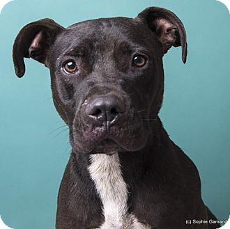 ●9•10•16 SL●☆URGENT!☆ADEN- Approx. 3 yr old male American Pit Bull Mix. This wonderful boy was left at the shelter gate. He has been such a great dog, greeting friend and stranger alike with a fiercely wagging tail (the only thing 'fierce' about him). Aden has done well with other dogs as well and is a polite and well mannered dog. Anniston, AL