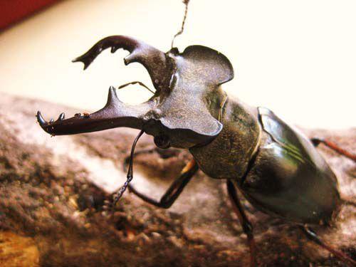 ミヤマクワガタについて 昆虫採集記 画像あり ミヤマクワガタ
