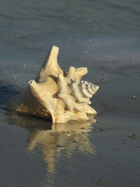 "Shell on the beach ~ photo by Rick ""Rozz"" DeLillo"