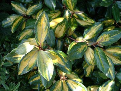 Elaeagnus ebbingei 'Limelight'. 3m x 3m but can be kept pruned to allocated space. This evergreen shrub is for the side of the house where it should be tough enough to withstand the winds down this passageway.