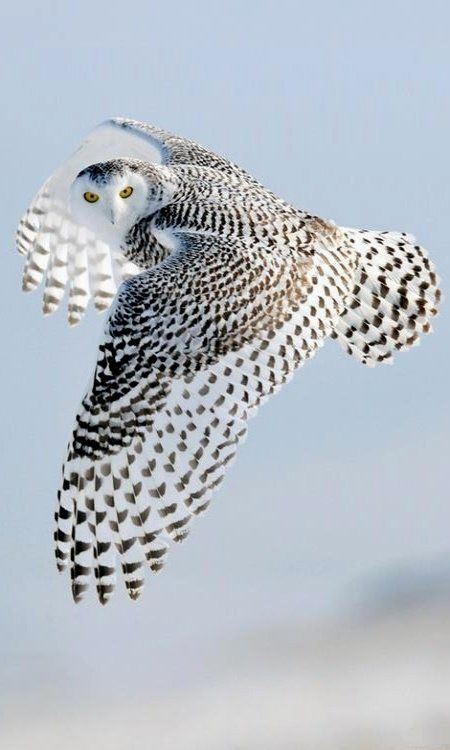 Snowy Owl in flight: