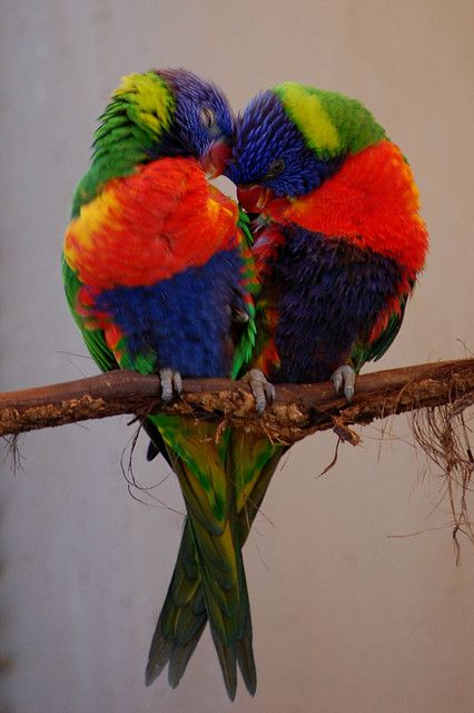 Lorikeet Love. I love lorikeets. They are such a different bird. Their colours match their personality.