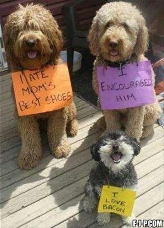 Funny Dogs - I ate mom best shoes, I encouraged him, I like bacon