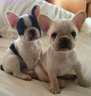 French Bulldog Puppy French Bulldog Puppies Bulldog Puppies