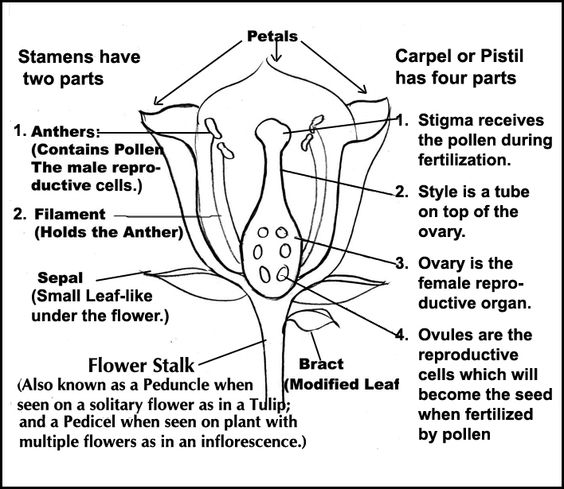 Parts of a Flower Diagram with explanations. | CC Cycle 1 ...