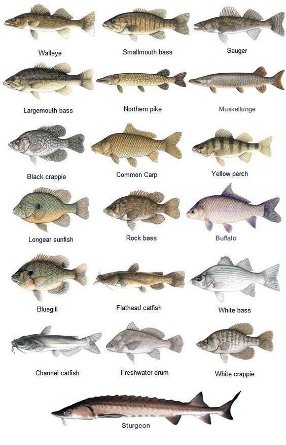 fish species game fish species of the st croix river