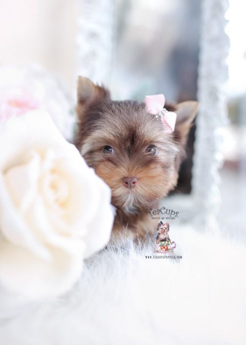 Chocolate Yorkie Puppy For Sale Teacup Puppies In 2020 Teacup Puppies Yorkie Puppy Cute Teacup Puppies