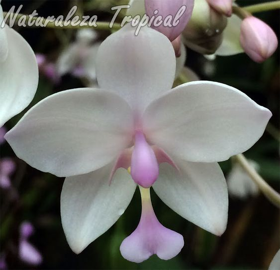 Orquídea terrestre con colores variables en las flores (generalmente rosadas o…