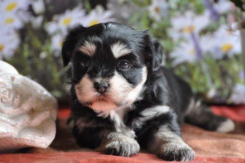 Herzlich Willkommen Bei Meiner Hundezucht Ich Zuchte Reinrassige Havaneser Und Havaneser Malteser Mischlinge Hunde Malteser Mischling