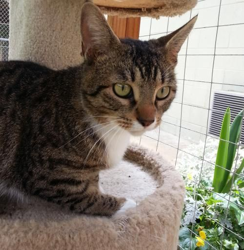 Meet Norman 22176, a Petfinder adoptable Domestic Short Hair Cat | Prattville, AL | Norman is a 2-year old, brown/white, neutered male. Norman was dropped off at the shelter at the...