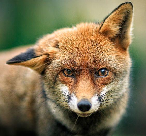 "beautiful-wildlife: ""Fox Portrait by Vladimir Spirov """
