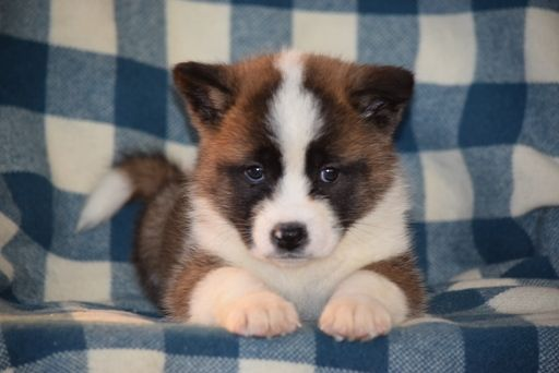 Akita Puppy For Sale In Fredericksburg Oh Adn 58677 On