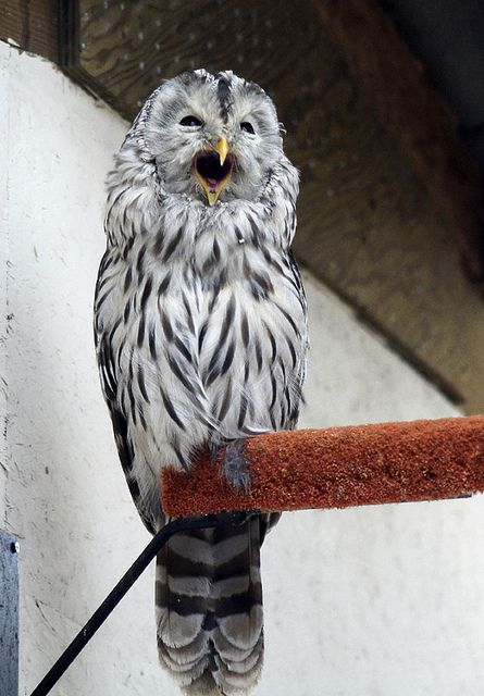Ural Owl calling out...