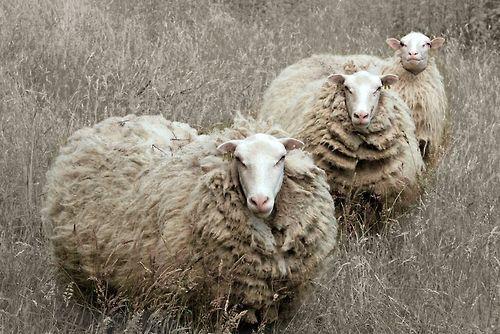 three aloof sheep