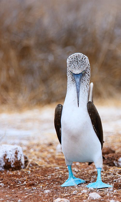 One for the bucket list - Blue Footed Boobies on the Galapagos Islands #Ecuador