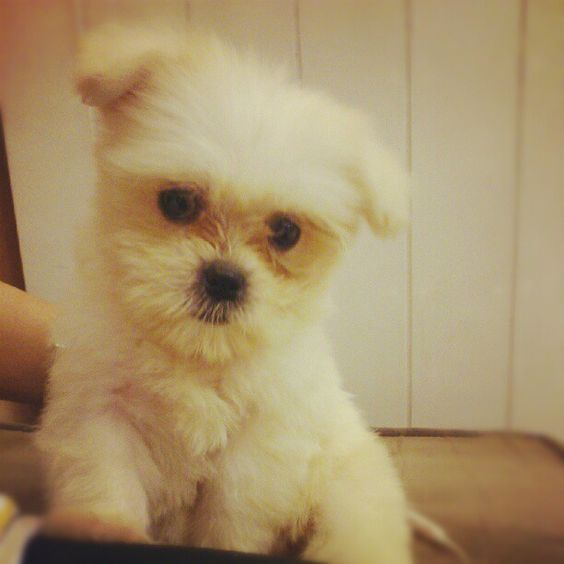Pearls :))) my baby <3 #instamood #photooftheday #weeklyfluff #dog #shihtzu #pomeranian - @jcarlacorpuz- #webstagram
