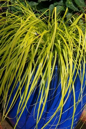Carex oshimensis evercolor 39 everillo 39 pp21002 japanese for Japanese mounding grass