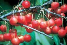 Sweet cherries cherries and cherry tree on pinterest - Romanian cherry tree varieties ...