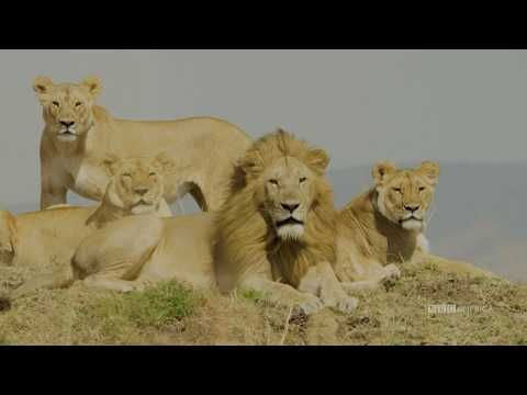 Watch How We Film Lions Dynasties Saturdays At 9pm Bbc America Bbc America Lions Bbc