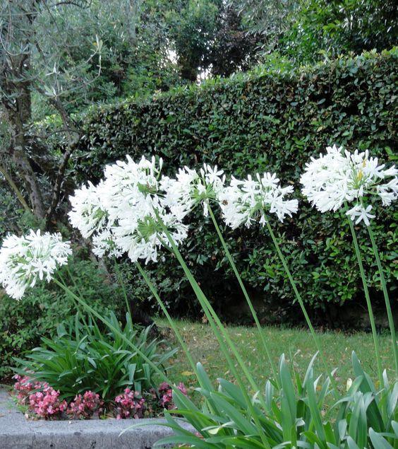 Diese Schmucklilien (Agapanthus-Hybriden) kennen wir nur in Kübeln. Hier wird eine weiße Form sehr kontraststark vor einer Stein-Eichen-Hecke plaziert.