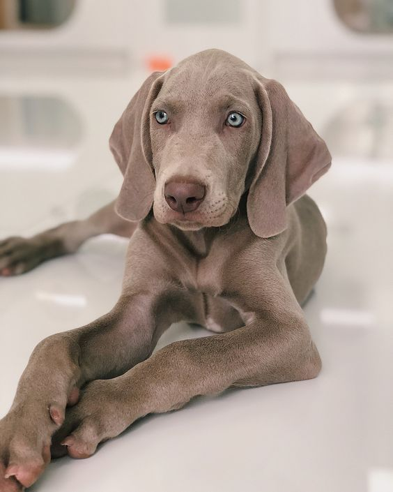 The Complete List Of United States Presidents Dogs Names Dogtime In 2020 Weimaraner Puppies Dogs Weimaraner