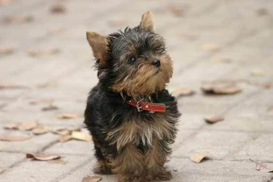 i can't wait to get my little yorkie and it needs to look just like this little guy