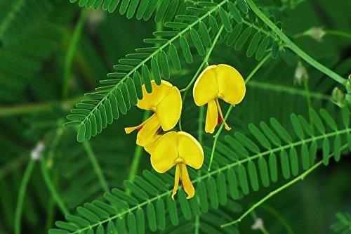 seeds Camptotheca Acuminata Happy Tree Cancer tree of life  FREE SHIPPING 50