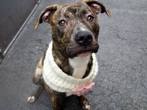 SAFE /RTO - Manhattan Center    TIGRESS - A0996954    FEMALE, BR BRINDLE / WHITE, PIT BULL MIX, 2 yrs  STRAY - ONHOLDHERE, HOLD FOR RTO  Reason STRAY   Intake condition NONE Intake Date 04/17/2014, From NY 10466, DueOut Date 04/20/2014