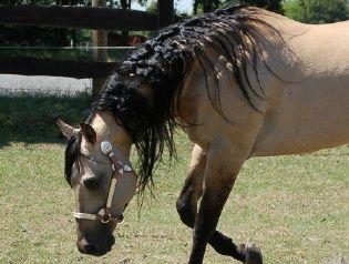 -Zuchtstuten , Verkaufspferde und Deckhengste - Quarter Horses - Paint Horses - Appaloosas   www.star-breeders.de