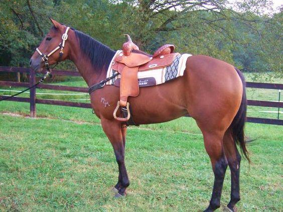 Black Quarter Horse Barrel Racing