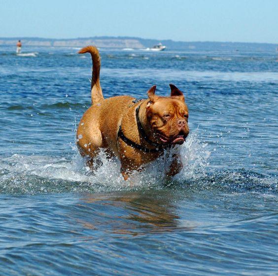 Swim time at Edmonds Off Leash Park at Marina Beach - Edmonds, WA - Angus Off-Leash #dogs #puppies #cutedogs #dogparks #angusoffleash #edmonds #washington: