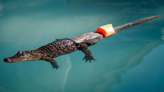 Mr. Stubbs. The world's first alligator with a prosthetic tail.