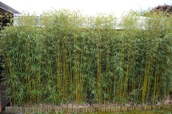 Green panda clumping bamboo-will winter well here!