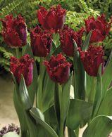 tulipes foncées