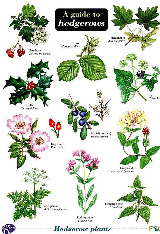 A guide to hedgerows