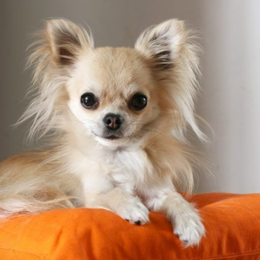 How To Train Your Chihuahua To Sit Part Vi Of A Series Of