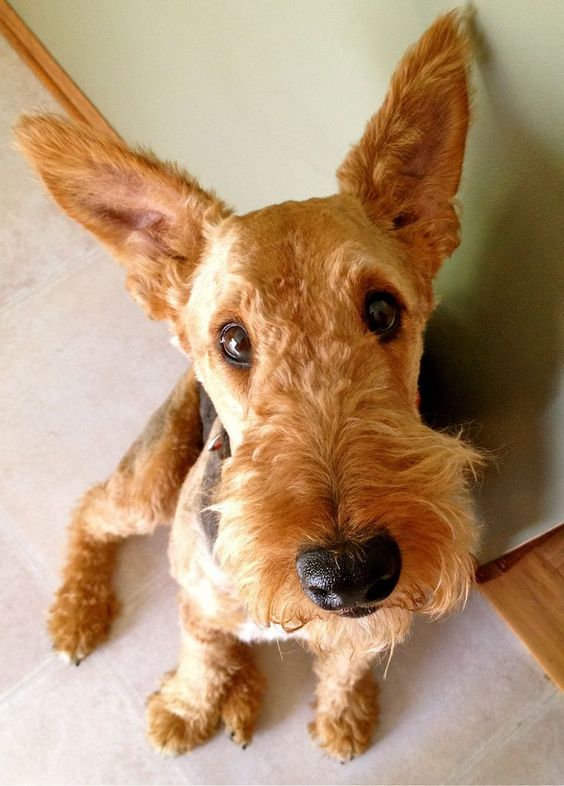 Airedale terrier, Saddles and Terriers on Pinterest