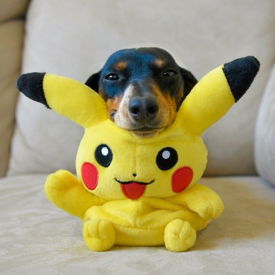 'Look, I caught a Pokemon!' - Cute Reese the Miniature Dachshund Puppy